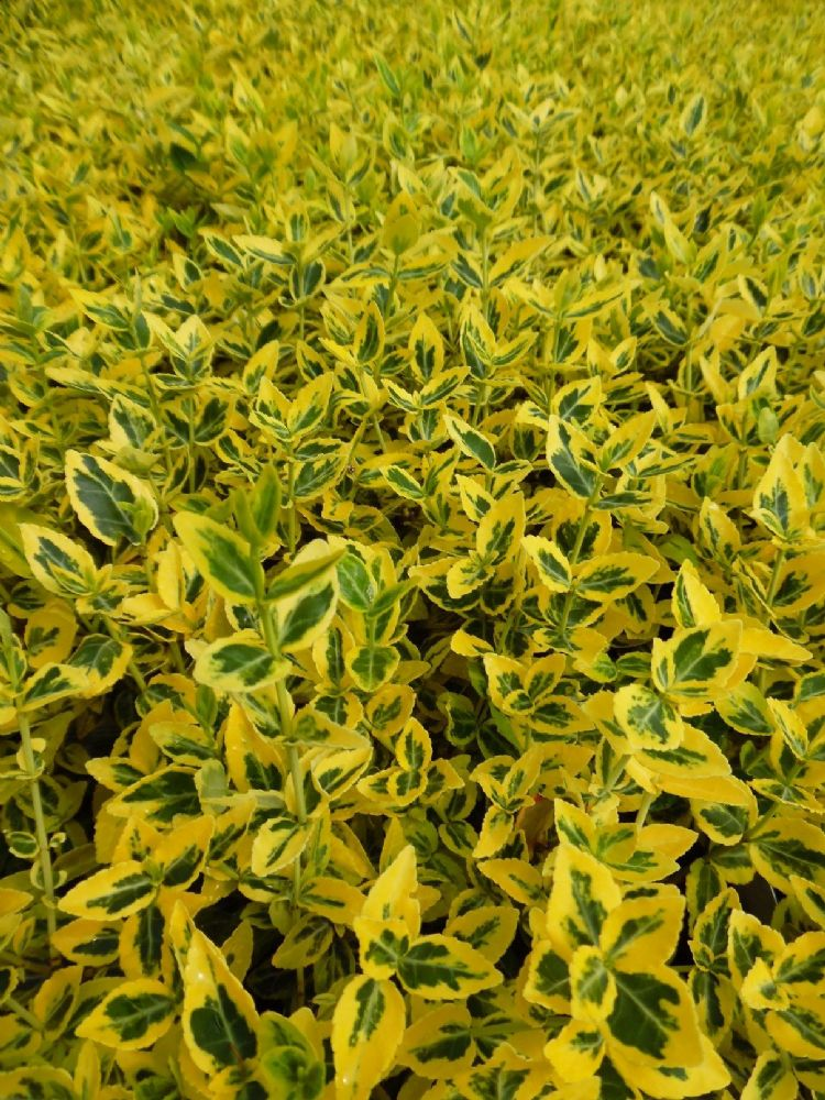 euonymus fortunei emerald n gold 1l pot. Black Bedroom Furniture Sets. Home Design Ideas